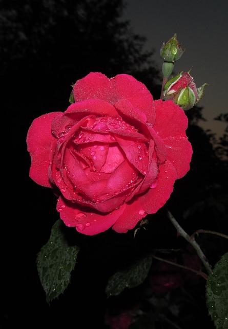 Flower, Rose, Petal, Nature