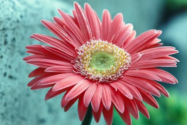 Flower, Nature, Petal, Summer, Color, Gerbera, Flowers