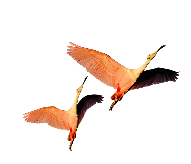 Isolated, Pink Flamingos, Nature, Wild, Birds