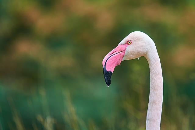 Flamingo, Pink, Bird, Plumage, Water Bird, Nature, Zoo