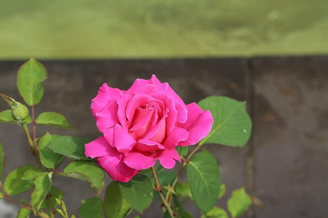 Pink Roses, Rose, Flower, Plant, Nature