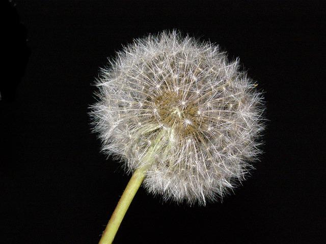 Dandelion, Blowball, Flower, Nature, Blow Flower, Plant