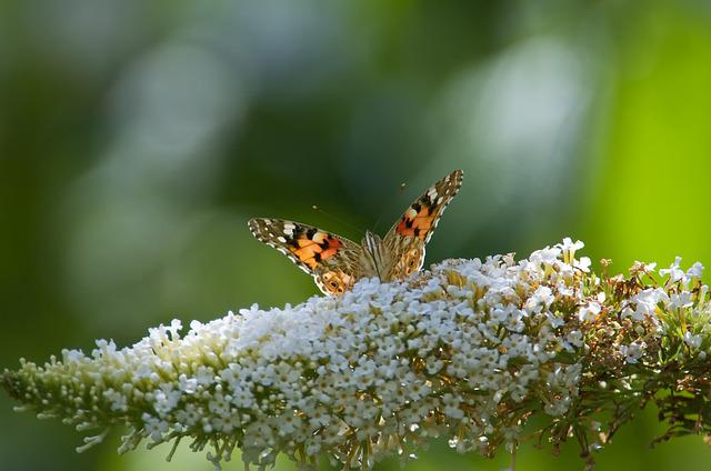 Butterfly, Insect, Close, Nature, Summer Lilac, Plant