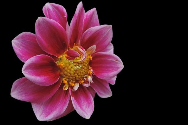 Dahlia, Blossom, Bloom, Flower, Nature, Plant, Petal