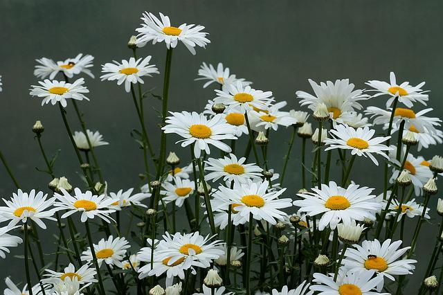 Daisy, Flower, White, Plant, Nature
