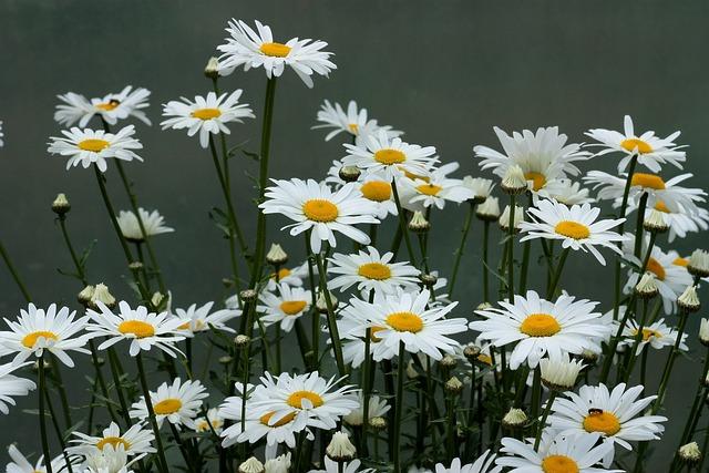Daisy, Flower, White, Plant, Nature
