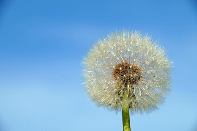 Dandelion, Dandelion Flower, Nature, Summer, Plant