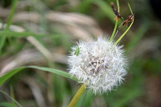Nature, Plant, Grass, Summer, Flower, Dandelion, Close