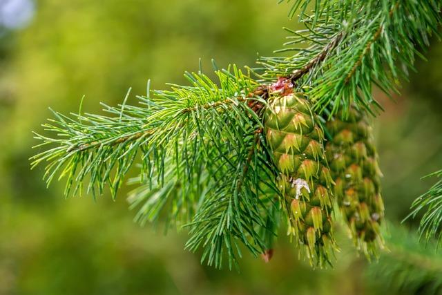 Nature, Plant, Douglas, Tap, Close Up, Flora, Conifer