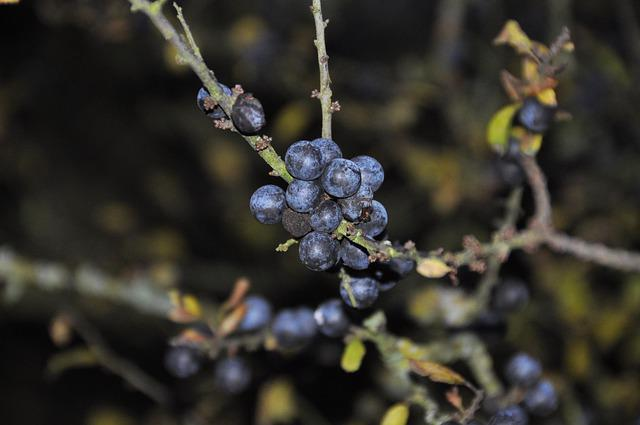 Fruit, Nature, Tree, Plant, Sloes