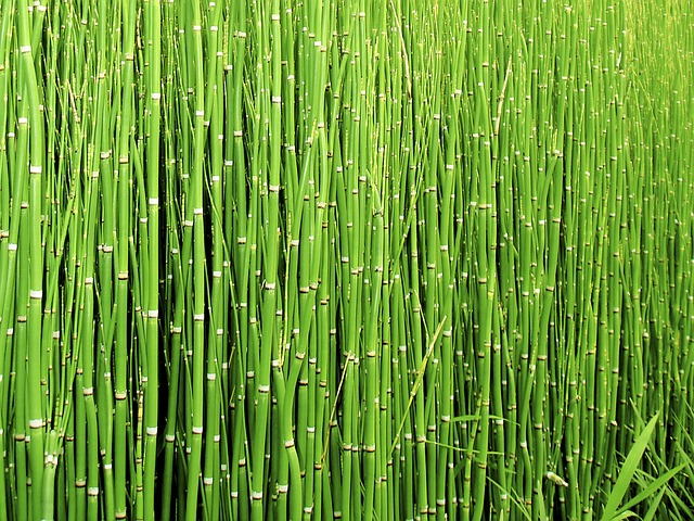 Scouring Rush Horsetail, Plant, Nature, Green