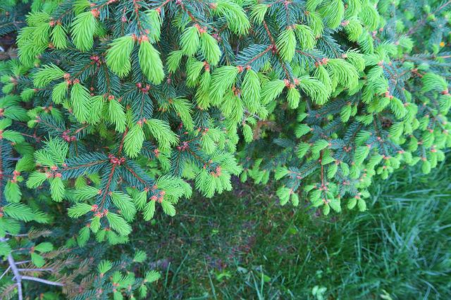 Pine, Leaves, Nature, Plant, Summer