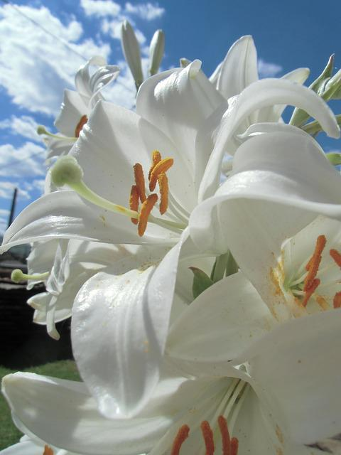 Beautifull, Lilies, Nature, Flower, Plant, Lily, Garden