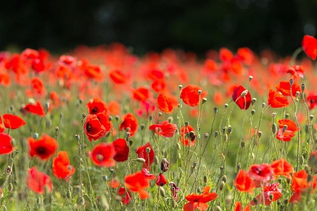 Poppy, Flower, Field, Nature, Plant, Summer, Meadow