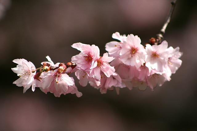 Flower, Plant, Cherry Wood, Nature, Branch, Petal