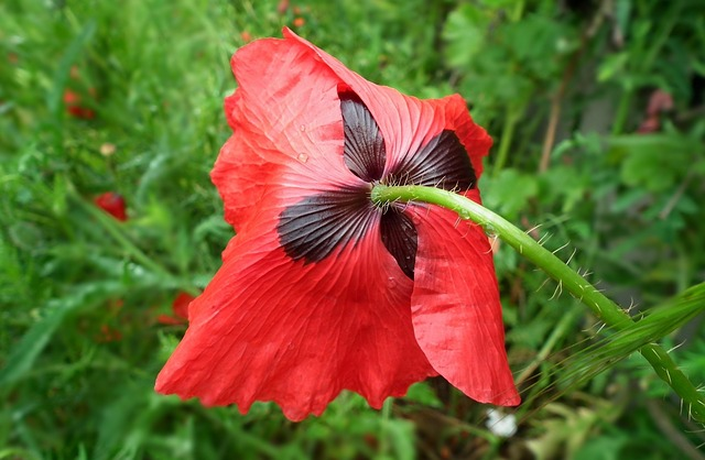 Nature, Flower, Poppy, Red, Plant, Leaf