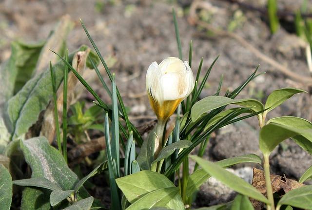 Krokus, Spring Flowers, Nature, Leaf, Plant, Flower