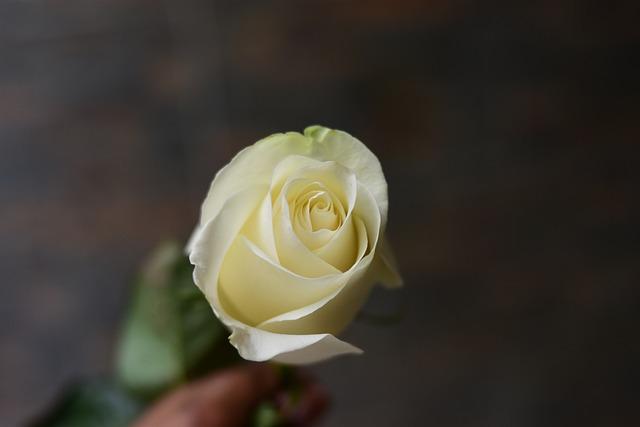 White Rose, Flower, Nature, Plant, Petal