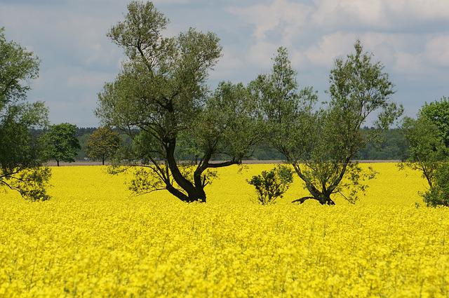 Rapeseed, Spring, Plants, Nature, Flowers
