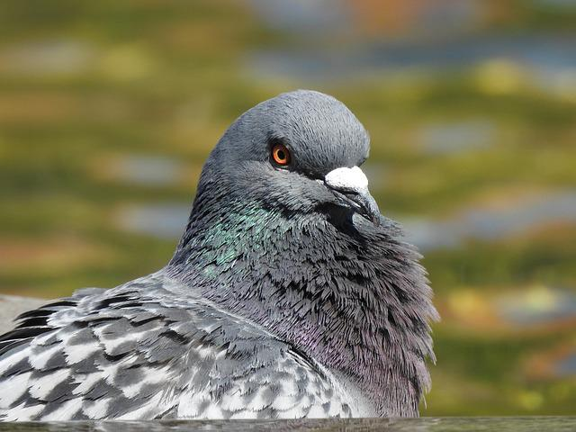Dove, Head, Bird, Feather, Plumage, Animal, Nature