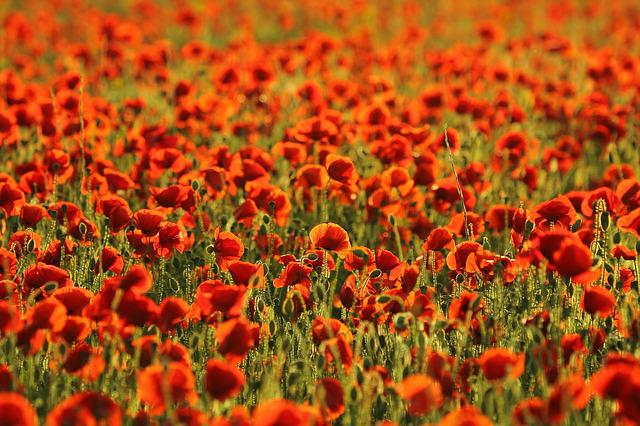 Poppies, Field, The Terrain, Nature, Red