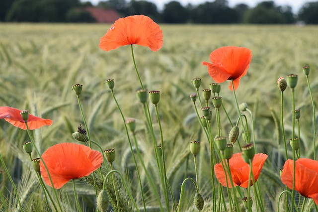 Poppy, Flower, Nature, Field