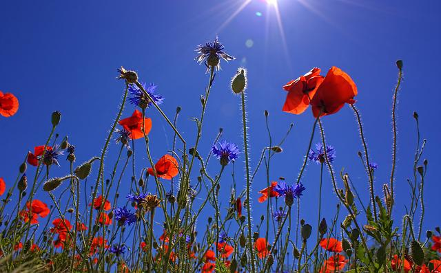 Field Of Poppies, Nature, Summer, Poppy Flower, Red