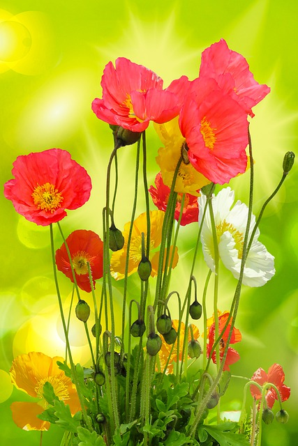 Nature, Garden, Summer, Flowers, Poppy, Colorful