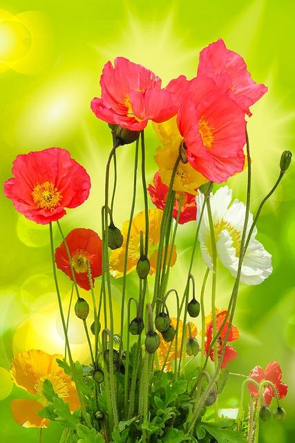Nature, Garden, Summer, Flowers, Poppy, Colorful