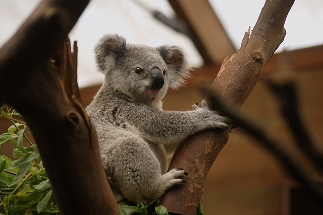 Koala, Animal, Animals, Nature, Pouch, Buidelbeer