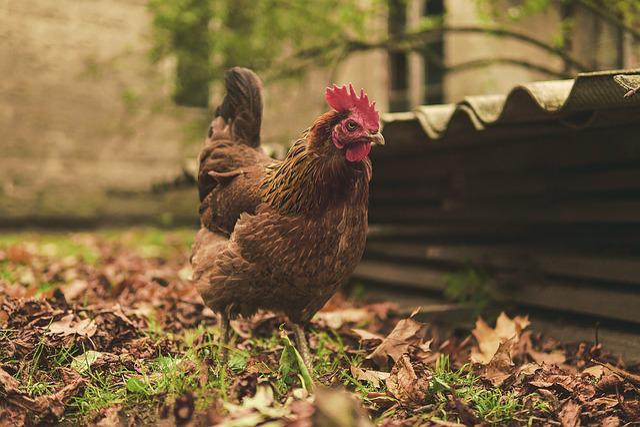 The Hen, Eggs, Poultry, Bird, Nature, Pen, Animal