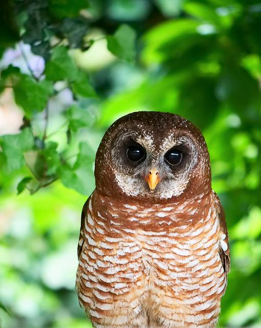 Owl, African Wood Owl, Bird, Animal, Predator, Nature