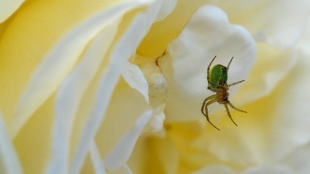Spider, Rose, Pumpkin Spider, Insect, Flower, Nature