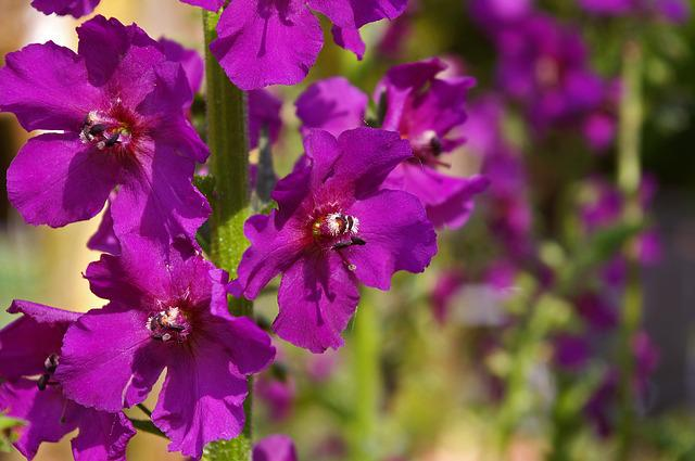 Mullein, Purple Flower, Garden, Purple, Flower, Nature