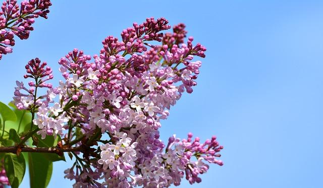 Lilac, Lilac Flower, Lilac Tree, Nature, Tree, Purple