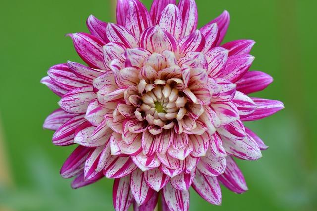Flower, Nature, Dahlia, Purple, White, Beauty