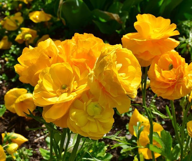 Ranunculus, Spring, Nature, Plant, Yellow