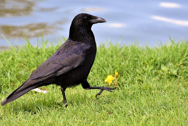 Crow, Raven Bird, Raven, Black, Nature, Bill