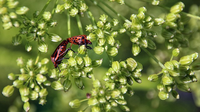 Beetle, Red, Black, Nature, Insect, Crawl, Pairing