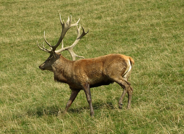 Hirsch, Red Deer, Antler Carrier, Nature, Antler, Wild