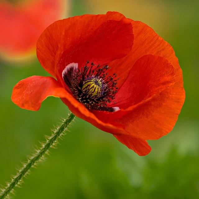 Flower, Poppy, Mildura, Red, Nature, Outback, Australia