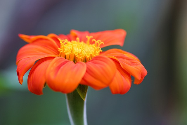 Flower, Orange, Red, Nature, Plant