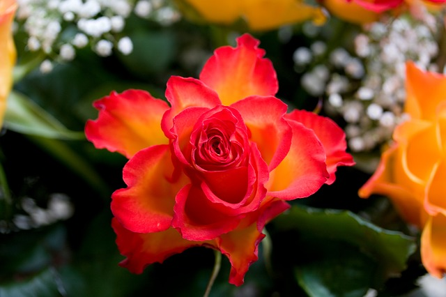 Rose, Red, Orange, Flower, Plant, Nature