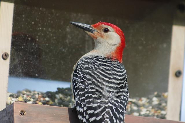 Bird, Nature, Bird Feeder, Red-bellied Woodpecker