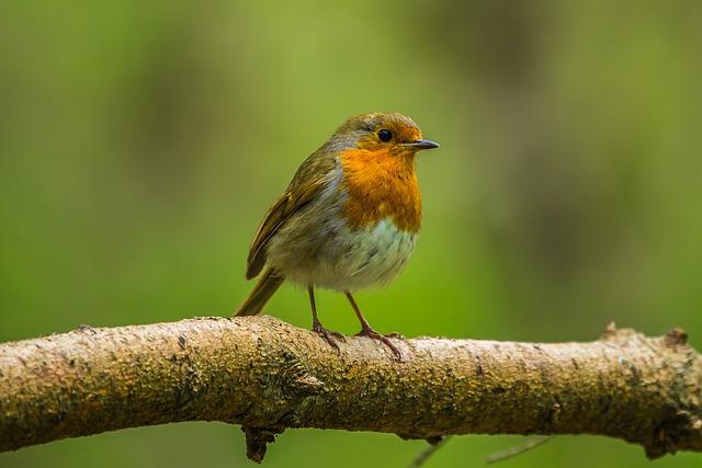 Redbreast, Bird, Nature, Spring, Forest