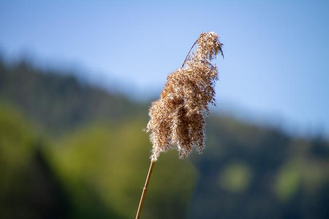 Reed, Nature, Sky, Blue Sky
