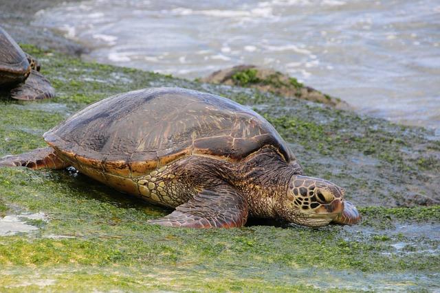 Green Sea Turtle, Hawaii, Turtle, Reptile, Nature