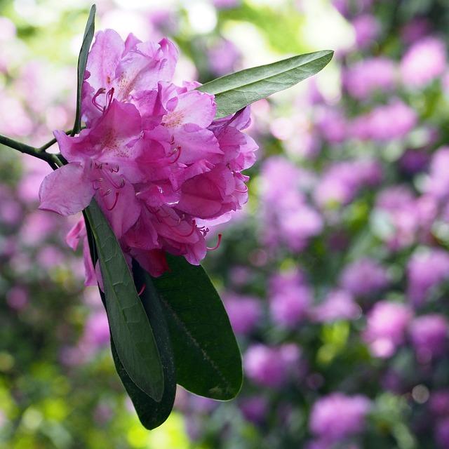 Rhododendron, Moor, Nature Reserve, Moorland