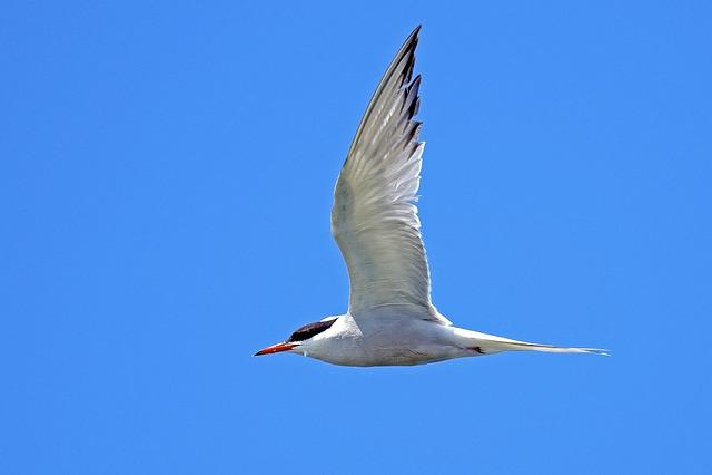 River Tern, Tern, Birds, Nature