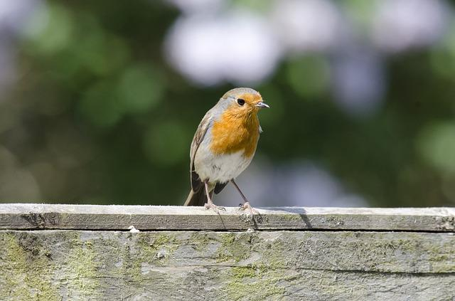 Robin, Bird, Wildlife, Nature, Garden, Cute, Feather